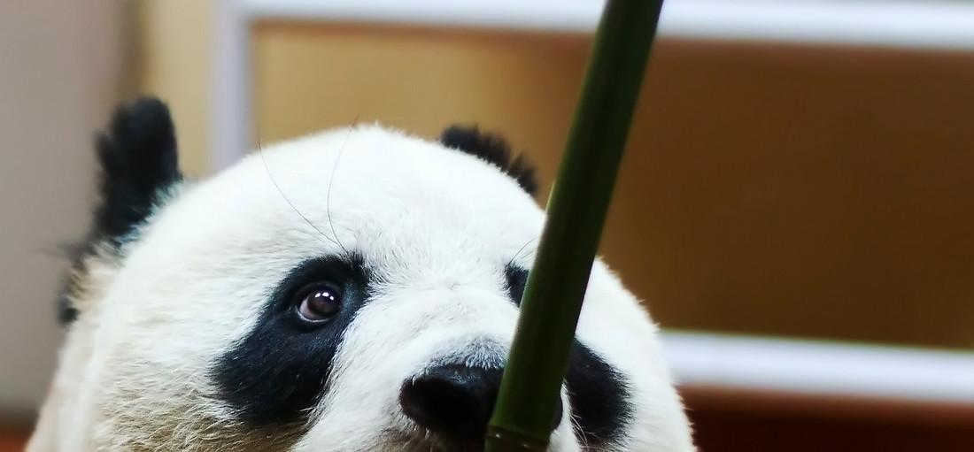 Panda Snack
